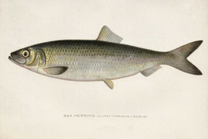 Art Prints of Sea Herring by Sherman Foote Denton