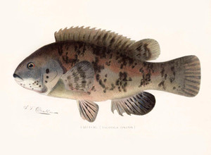 Art Prints of Tautog by Sherman Foote Denton
