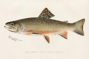 Art Prints of Brook Trout, Male by Sherman Foote Denton