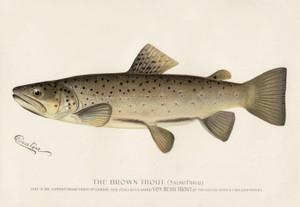 Art Prints of Brown Trout by Sherman Foote Denton