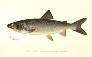 Art Prints of Lake Trout by Sherman Foote Denton