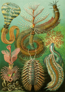 Art Prints of Chaetopoda, Plate 96 by Ernest Haeckel