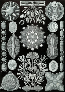 Art Prints of Diatomea, Plate 84 by Ernest Haeckel
