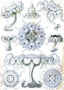 Art Prints of Discomedusae, Plate 18 by Ernest Haeckel