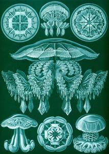 Art Prints of Discomedusae, Plate 88 by Ernest Haeckel