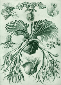 Art Prints of Filicinae or Fern, Plate 52 by Ernest Haeckel