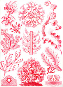 Art Prints of Florideae, Plate 65 by Ernest Haeckel