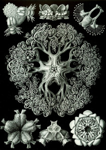 Art Prints of Ophiodea, Plate 70 by Ernest Haeckel