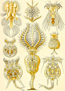 Art Prints of Rotatoria, Plate 32 by Ernest Haeckel