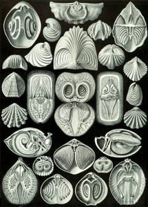 Art Prints of Spirobranchia, Plate 97 by Ernest Haeckel