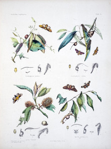 Art Prints of Plate 6 of Australian Lepidoptera and Transformations by Helena Scott