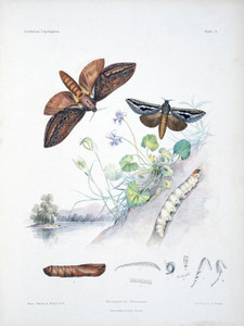 Art Prints of Plate 4 of Australian Lepidoptera and Transformations by Helena Scott