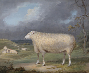 Art Prints of A Border Leicester Ewe by James Ward