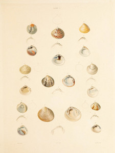 Art Prints of Shells, Plate 11 by Jean-Baptiste Lamarck