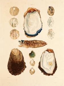 Art Prints of Shells, Plate 19 by Jean-Baptiste Lamarck