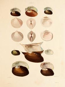 Art Prints of Shells, Plate 14 by Jean-Baptiste Lamarck