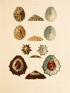 Art Prints of Shells, Plate 23 by Jean-Baptiste Lamarck