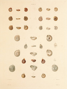 Art Prints of Shells, Plate 28 by Jean-Baptiste Lamarck