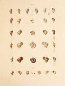 Art Prints of Shells, Plate 31 by Jean-Baptiste Lamarck