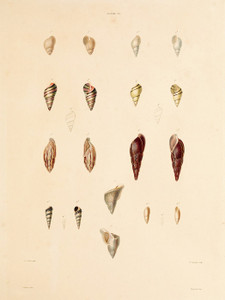 Art Prints of Shells, Plate 30 by Jean-Baptiste Lamarck