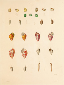 Art Prints of Shells, Plate 29 by Jean-Baptiste Lamarck