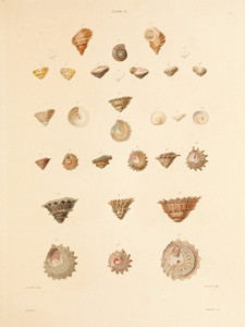 Art Prints of Shells, Plate 36 by Jean-Baptiste Lamarck