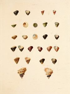 Art Prints of Shells, Plate 38 by Jean-Baptiste Lamarck