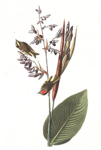 Art Prints of American Gold Crested Wren by John James Audubon