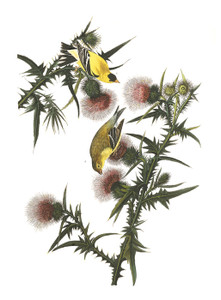 Art Prints of American Goldfinch by John James Audubon