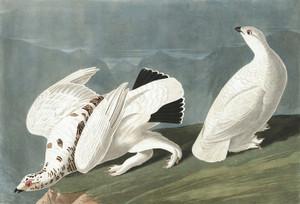 Art Prints of American Ptarmigan by John James Audubon