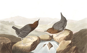 Art Prints of American Water Quzel by John James Audubon