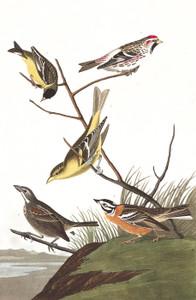 Art Prints of Arkansaw Siskin by John James Audubon