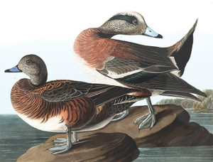 Art Prints of American Widgeon by John James Audubon