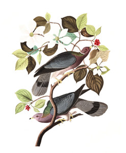 Art Prints of Band Tailed Pigeon by John James Audubon