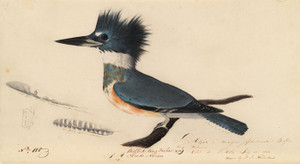 Art Prints of Belted Kingfisher, Study by John James Audubon