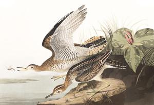Art Prints of Bartram Sandpiper by John James Audubon