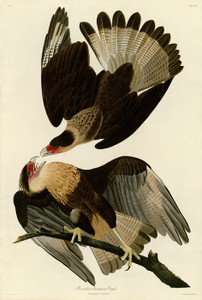 Art Prints of Brazilian Caracara Eagle by John James Audubon