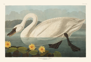Art Prints of Common American Swan by John James Audubon