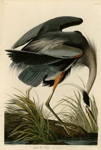 Art Prints of Great Blue Heron by John James Audubon