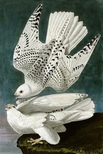 Art Prints of Gyrfalcon by John James Audubon