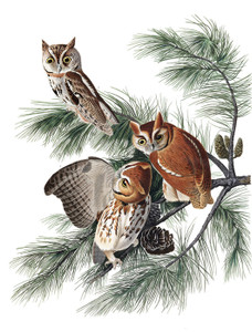 Art Prints of Little Screech Owl by John James Audubon