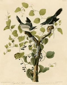 Art Prints of Loggerhead Shrike by John James Audubon