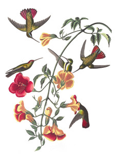 Art Prints of Mango Hummingbird by John James Audubon