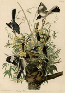 Art Prints of Mocking Bird by John James Audubon