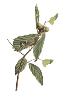 Art Prints of Swainson's Warbler by John James Audubon