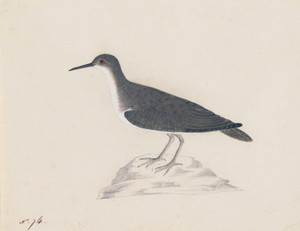 Art Prints of Sandpiper by John James Audubon