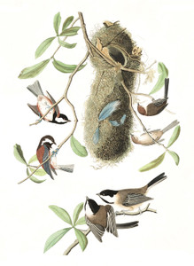Art Prints of Chestnut & Black Capped Titmouse by John James Audubon