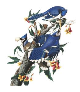 Art Prints of Blue Jay by John James Audubon