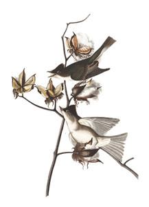 Art Prints of Pewit Flycatcher by John James Audubon