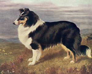 Art Prints of Collie by Lilian Cheviot